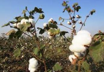 Organic Cotton of Delhi