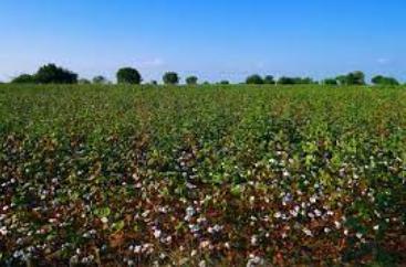 Organic Cotton in Karnataka